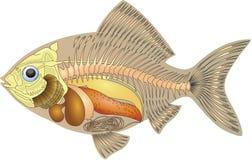 Anatomía de un pescado Foto de archivo libre de regalías