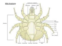 Anatomía del ácaro o de la señal del polvo con las escrituras de la etiqueta Fotografía de archivo