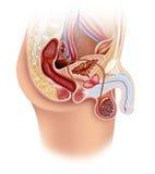Anatomía del aparato reproductivo masculino stock de ilustración