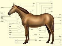 Anatomía del caballo - partes del cuerpo libre illustration