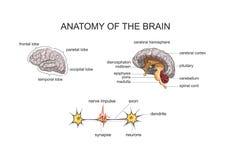 Anatomía del cerebro ilustración del vector