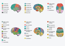 Anatomía del cerebro humano, ilustración del vector