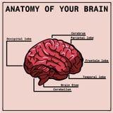 Anatomía del cerebro, infographics Fotos de archivo libres de regalías