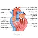 Anatomía del corazón Fotografía de archivo libre de regalías