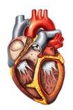 Anatomía del corazón Foto de archivo libre de regalías