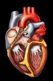 Anatomía del corazón Fotos de archivo libres de regalías