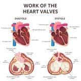 Anatomía del corazón humano Imágenes de archivo libres de regalías