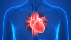 Anatomía del corazón del sistema circulatorio de los órganos del cuerpo humano stock de ilustración