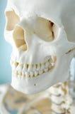 Anatomía del cráneo humano Fotos de archivo libres de regalías