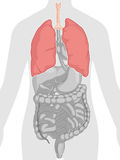 Anatomía del cuerpo humano - pulmones Imagen de archivo libre de regalías