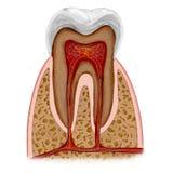 Anatomía del diente Imágenes de archivo libres de regalías