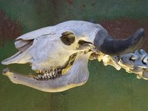 Anatomía del esqueleto animal en el parque zoológico 2014 en Riga Letonia Imágenes de archivo libres de regalías