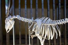 Anatomía del esqueleto animal en el parque zoológico Riga 2014 en Letonia Imágenes de archivo libres de regalías