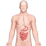 Anatomía del estómago humano Foto de archivo libre de regalías