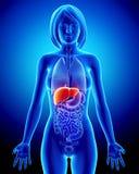 Anatomía del hígado femenino en radiografía azul Foto de archivo