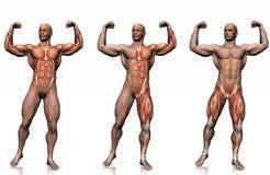 Anatomía del hombre. Imágenes de archivo libres de regalías