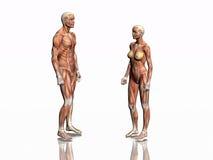 Anatomía del hombre y de la mujer. stock de ilustración