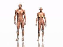 Anatomía del hombre y de la mujer. Imagen de archivo libre de regalías