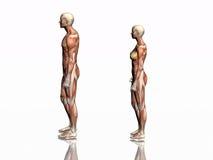 Anatomía del hombre y de la mujer. Foto de archivo