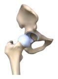 Anatomía del hueso de la cadera stock de ilustración