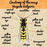 Anatomía del insecto Avispa Vespula vulgaris Bosquejo de Fotos de archivo libres de regalías