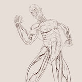 Anatomía del músculo Fotos de archivo libres de regalías