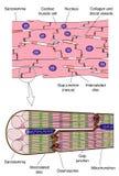 Anatomía del músculo cardiaco stock de ilustración