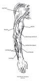 Anatomía del músculo del brazo Fotos de archivo