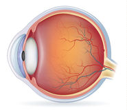 Anatomía del ojo humano Fotografía de archivo libre de regalías
