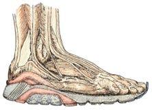 Anatomía del pie Imagen de archivo