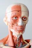 Anatomía del ser humano de la cara Imagen de archivo