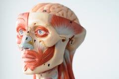 Anatomía del ser humano de la cara Foto de archivo libre de regalías