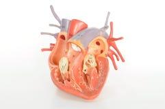 Anatomía del ser humano del corazón Fotos de archivo