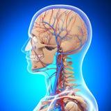 Anatomía del sistema circumlocutory de la cabeza humana Foto de archivo libre de regalías