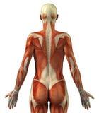 Anatomía del sistema muscular femenino stock de ilustración