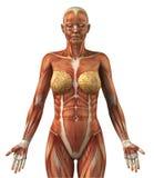 Anatomía del sistema muscular frontal femenino stock de ilustración