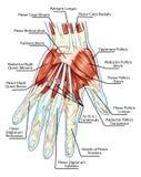 Anatomía del sistema muscular - mano, músculo de la palma - t ilustración del vector