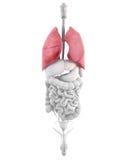 Anatomía del sistema respiratorio masculino de los pulmones Fotos de archivo