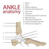 Anatomía del tobillo libre illustration