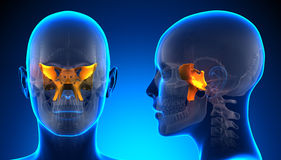 Anatomía esfenoidal femenina del cráneo - concepto azul Imágenes de archivo libres de regalías