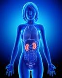 Anatomía femenina del riñón en lazo azul de la radiografía Fotos de archivo