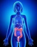 Anatomía femenina - sistema digestivo Fotografía de archivo