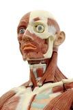 Anatomía humana Imagenes de archivo