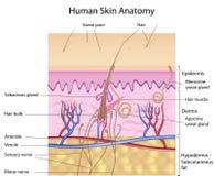 Anatomía humana de la piel, etiquetada versión Fotografía de archivo libre de regalías