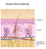 Anatomía humana de la piel, no-etiquetada versión Foto de archivo libre de regalías