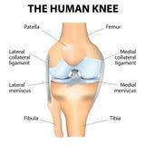 Anatomía humana de la rodilla Imagen de archivo libre de regalías
