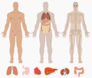 Anatomía humana del fondo del hombre Imagen de archivo