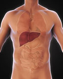 Anatomía humana del hígado stock de ilustración