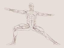 Anatomía humana del músculo Foto de archivo