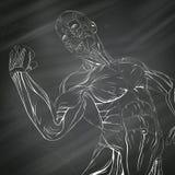 Anatomía humana del músculo Imagen de archivo